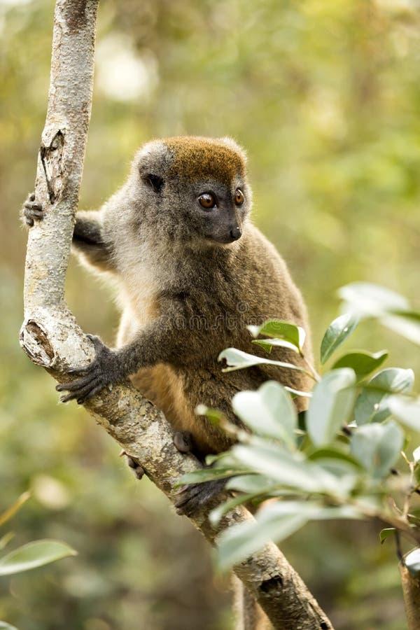 Wenig Bambusmaki, Hapalemur-griseus, in der Natur, Madagaskar stockbilder