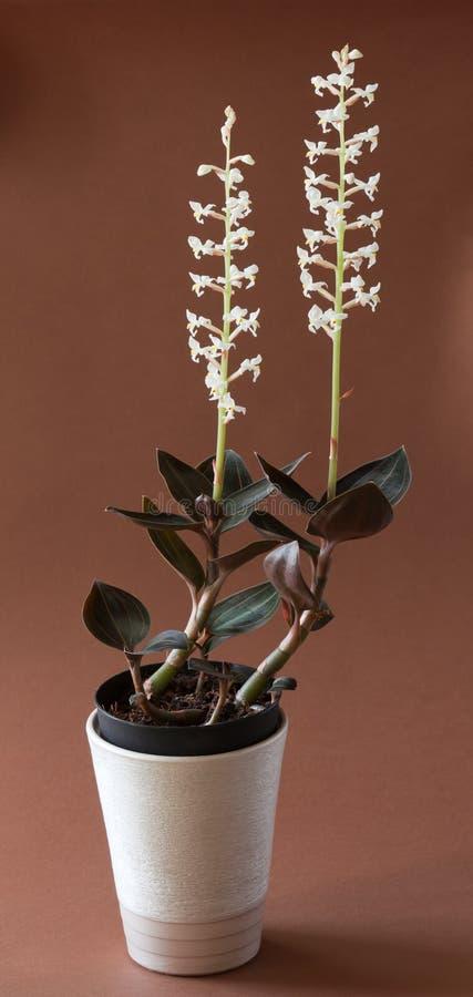 Wenig Basisrecheneinheitsorchidee - Platanthera bifolia lizenzfreies stockfoto