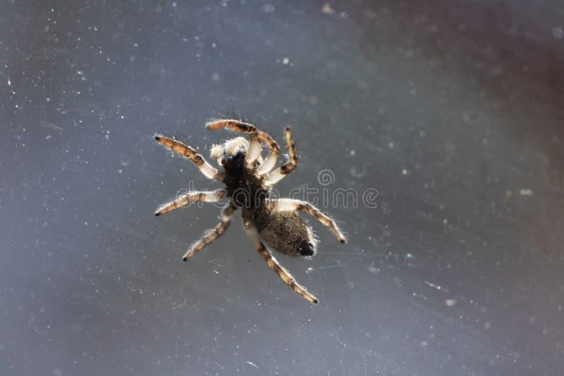 Wenig braune Spinne auf Glasabschluß oben lizenzfreie stockfotografie