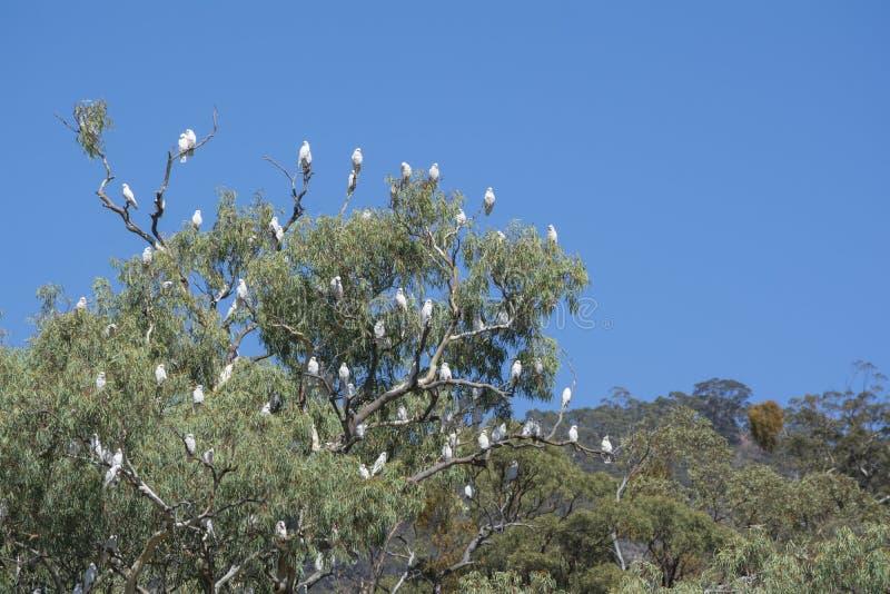 Wenig Corella, Melrose, Süd-Australien lizenzfreies stockfoto