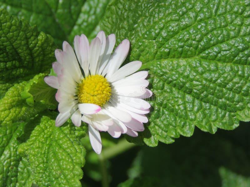 Wenig daisie auf kleinen grünen Blättern stockbilder