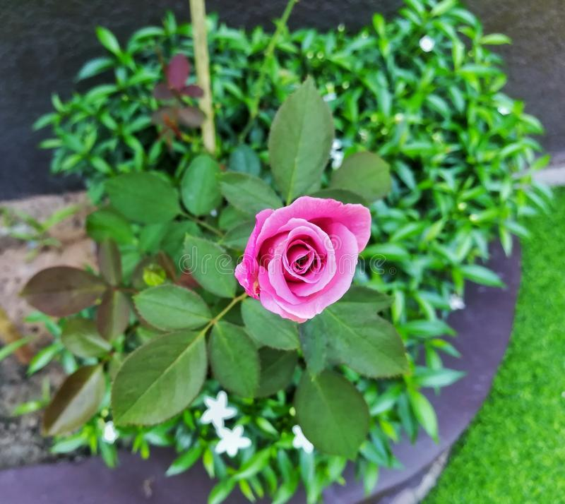 wenig die rosa neue Rose wachsen lizenzfreies stockfoto
