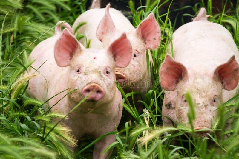 Wenig drei Schweine auf dem Feld im Sommer stockfotos
