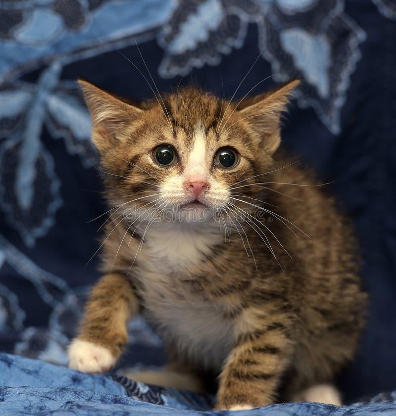 Wenig erschrak gestreiftes braunes und weißes Kätzchen lizenzfreie stockfotografie