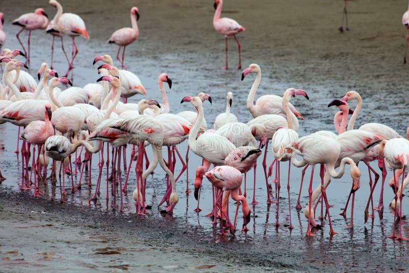 Wenig Flamingo, Phoeniconaias-aminor, Rosy Flamingo, Phoenicopterus-ruber ruber, Walfischbucht, Namibia lizenzfreies stockfoto