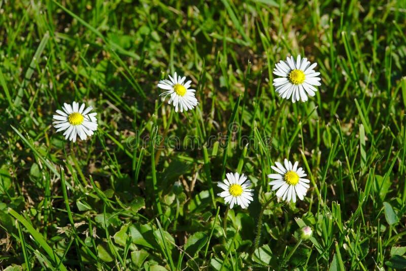 Wenig Gänseblümchen auf einem Rasen stockfotos