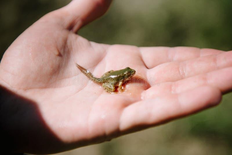 Wenig grüner Frosch mit einem Endstückabschluß oben stockbild