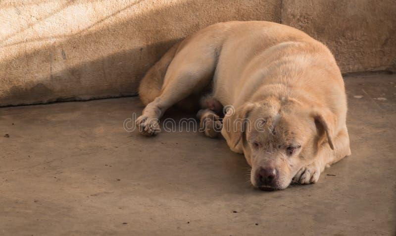 Wenig hässlicher Haupthund lizenzfreie stockfotografie