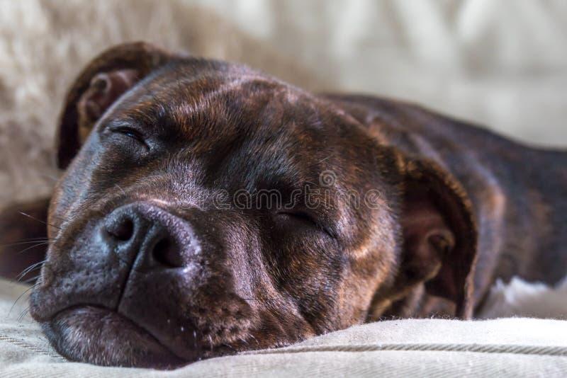 Wenig Hündchen schläft auf der Couch stockbild