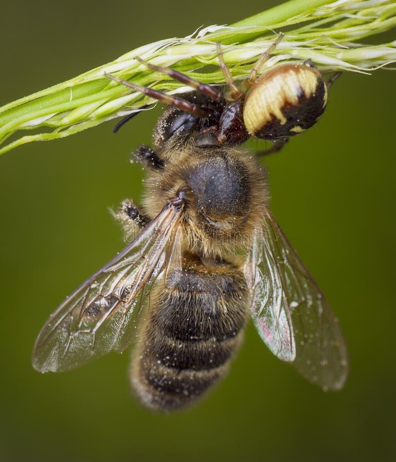 Wenig Honigbiene gefangen durch Spinne stockbilder