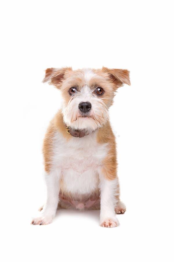 Wenig Köterhund lizenzfreies stockfoto