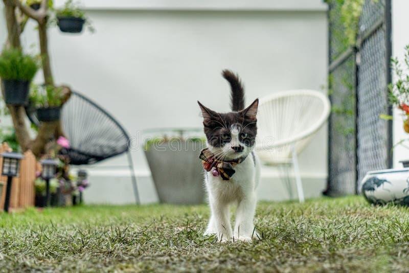 Wenig langbeiniger munchin Kätzchenschwarzweiss-weg wie eine Mafia im Garten Sein Gesicht sah wie Charlie Chaplin aus lizenzfreies stockfoto