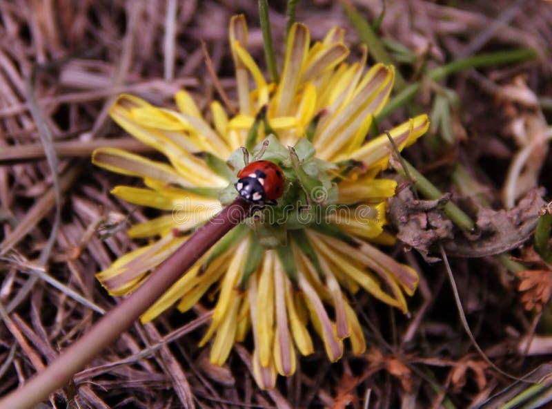 Wenig Marienkäfer, der ruhig auf dem Stamm einer gelben Blume sitzt lizenzfreie stockfotos