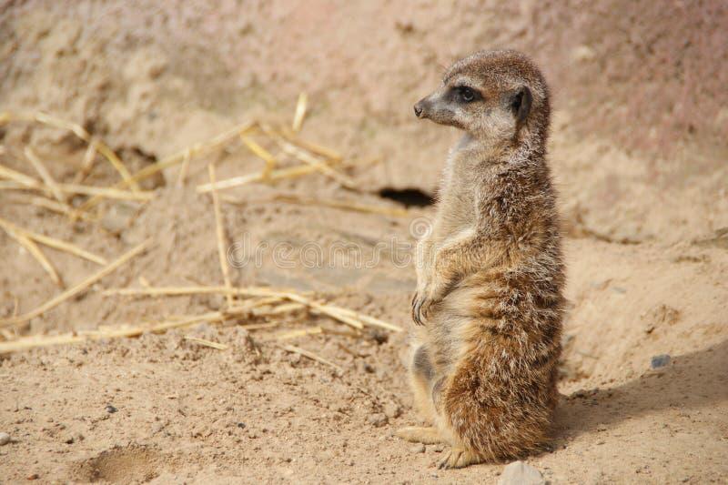 Wenig meerkat lizenzfreies stockbild