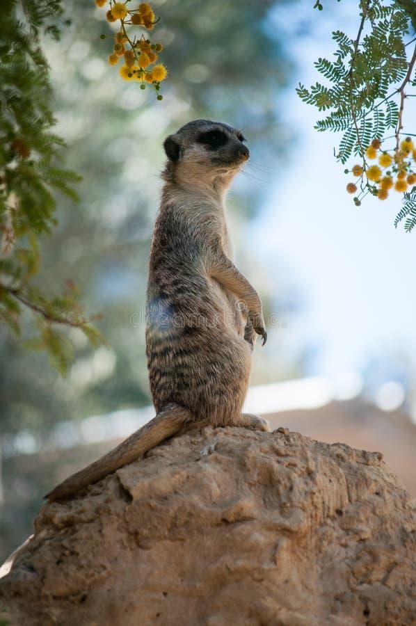 Wenig meerkat auf dem Stein lizenzfreies stockfoto