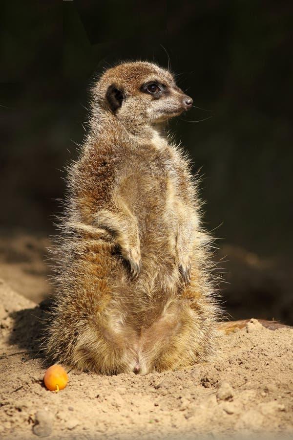 Wenig meerkat, das aufrecht steht stockfotos
