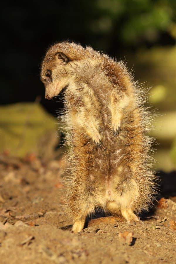 Wenig meerkat, das unten schaut stockfotos