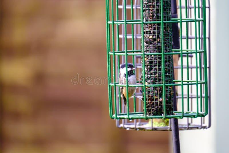 Wenig Meise, die auf Vogel-Zufuhr einzieht lizenzfreie stockfotografie