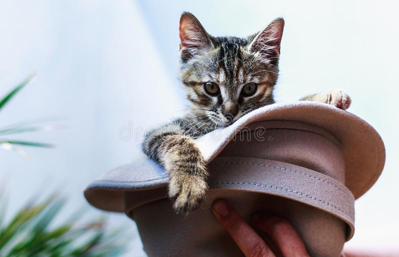 Wenig nettes flaumiges Kätzchen, das in einem Hut zu Händen von der Hosteß sitzt lizenzfreies stockfoto