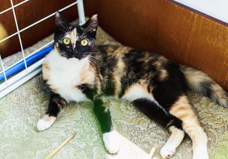 Wenig nettes flaumiges Kätzchen der getigerten Katze liegt auf dem Boden faul, an einem hellen und, Nachmittag des Raumes, im Frü stockbild