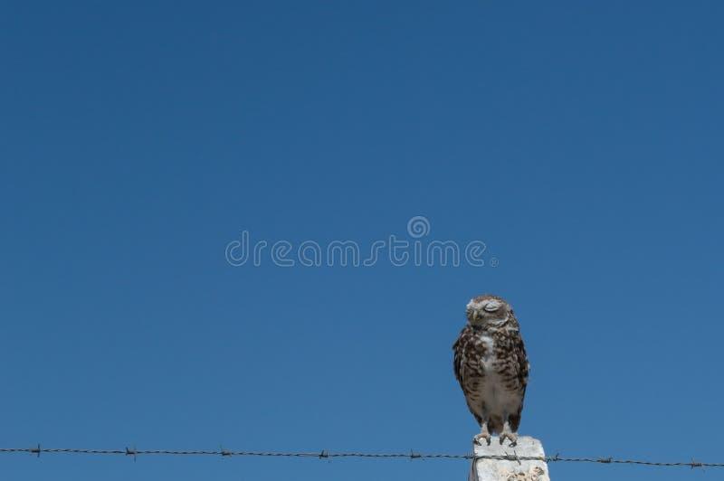 Wenig Owl Vizcachera Athene-cunicularia auf konkretem Pfosten und Stacheldraht lizenzfreie stockbilder