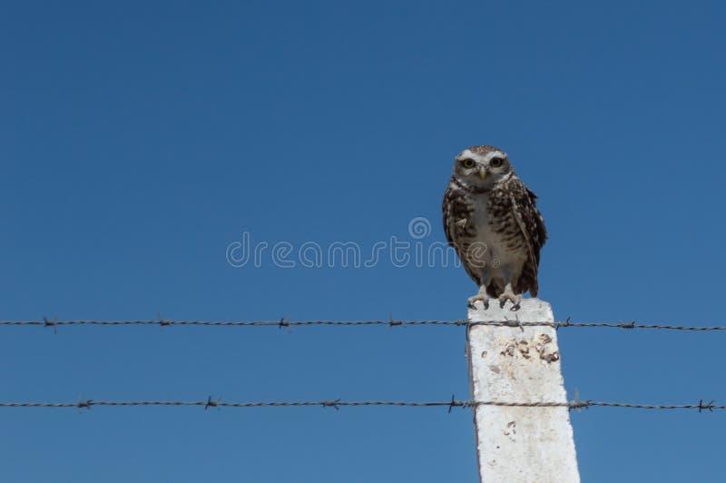 Wenig Owl Vizcachera Athene-cunicularia auf konkretem Pfosten und Stacheldraht stockbild