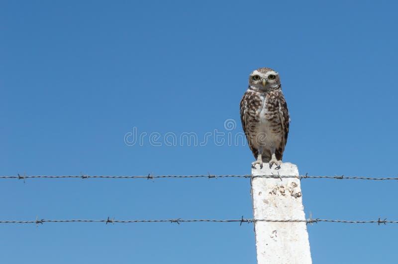Wenig Owl Vizcachera Athene-cunicularia auf konkretem Pfosten und Stacheldraht stockfoto