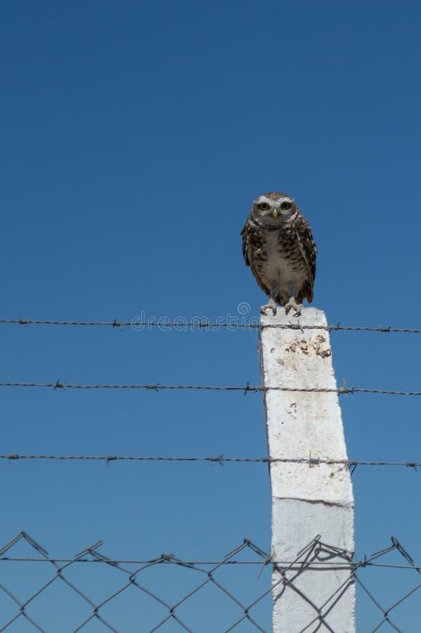 Wenig Owl Vizcachera Athene-cunicularia auf konkretem Pfosten und Stacheldraht lizenzfreies stockfoto