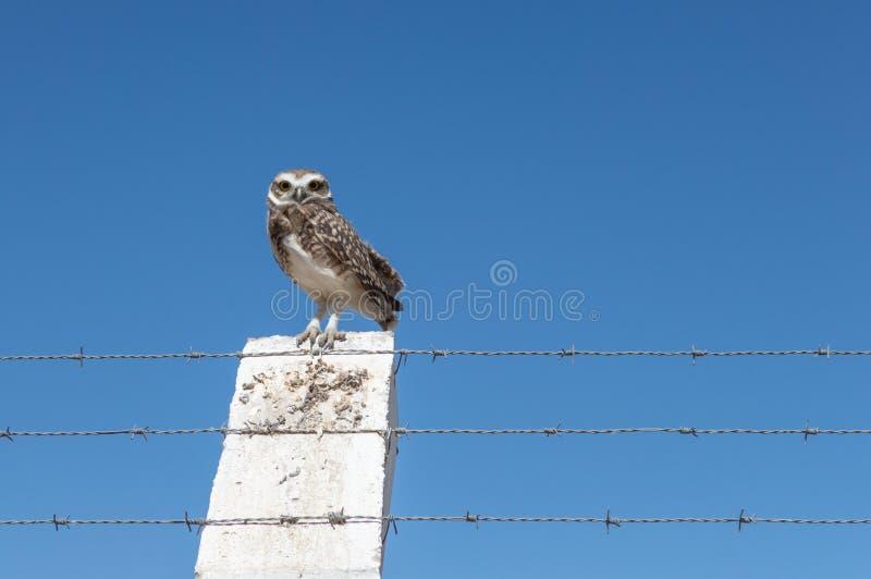 Wenig Owl Vizcachera Athene-cunicularia auf konkretem Pfosten und Stacheldraht stockfotografie
