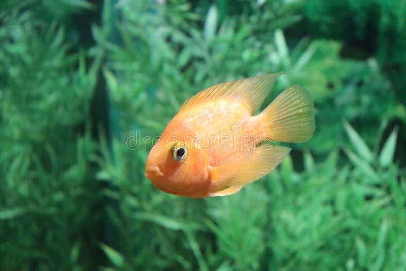 Wenig Papageienfisch im aqarium lizenzfreie stockfotografie