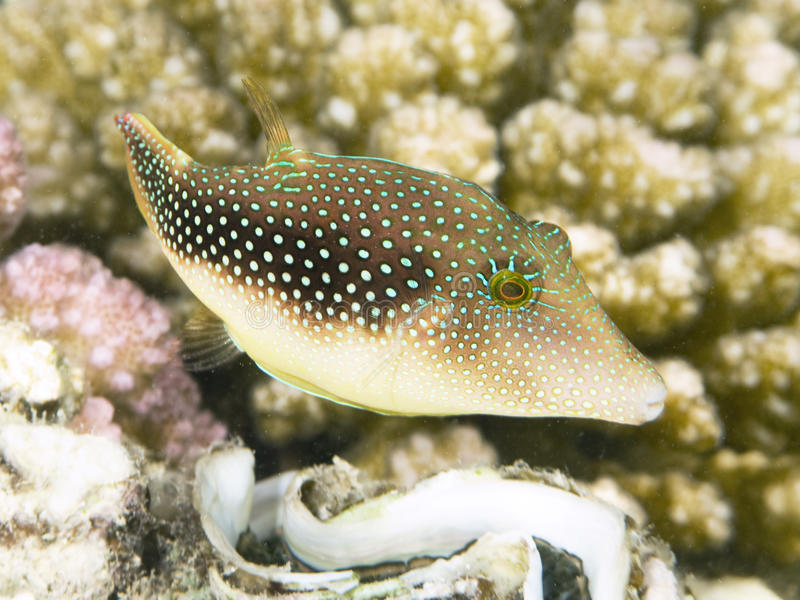Wenig Pufferfish stockfoto