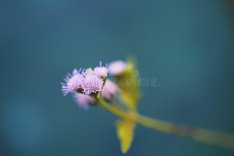 Wenig rosa Blume im blauen Hintergrund lizenzfreie stockfotografie