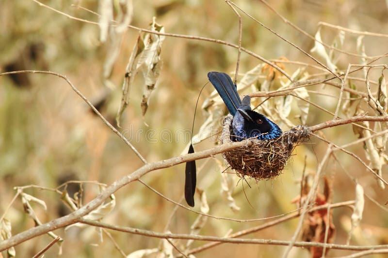 Wenig Schläger-angebundener Drongo im Nest lizenzfreies stockfoto