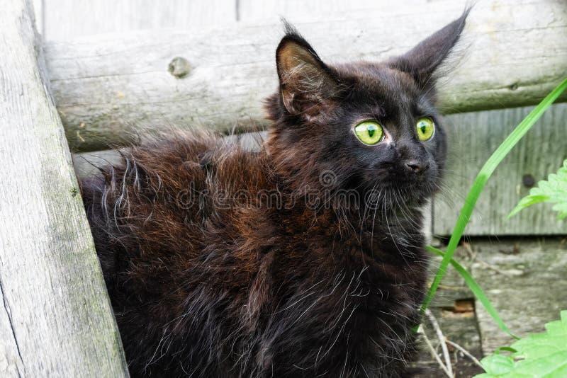 Wenig schwarze Kätzchen Maine Coon-Zucht im Yard Erschrockenes K?tzchen stockfoto
