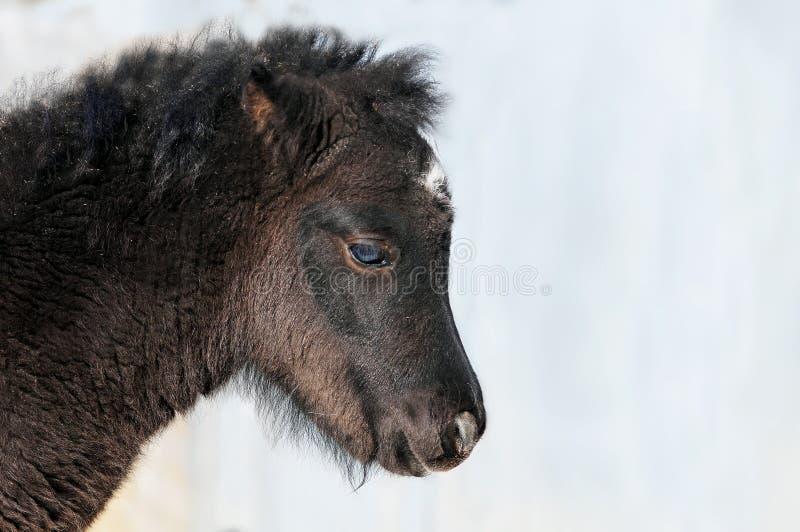Wenig schwarzes Fohlen des Ponys traurig lizenzfreies stockbild