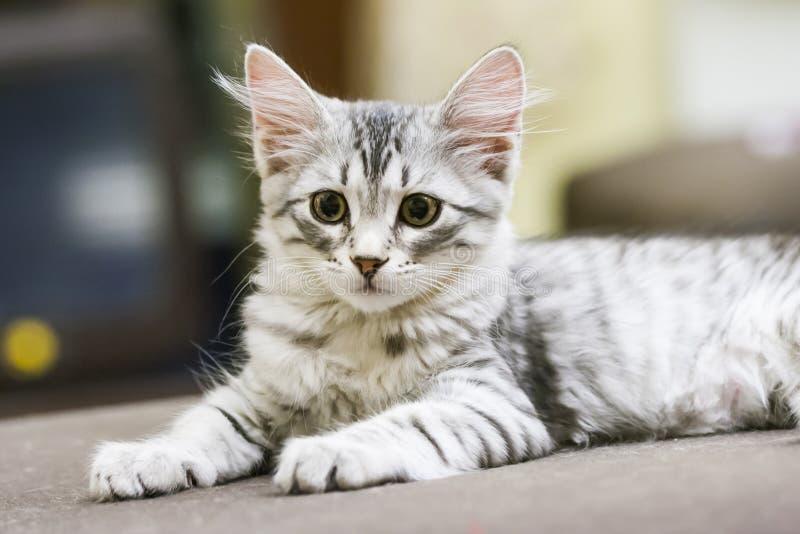 Wenig silberne Katze, sibirische Zucht stockbild
