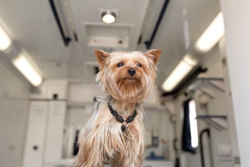 Wenig Spaßhündchen-Yorkshire-Terrier, der auf Manipulationstabelle innerhalb des Haustierkrankenwagenautos aufwirft Veterinärklin lizenzfreie stockbilder