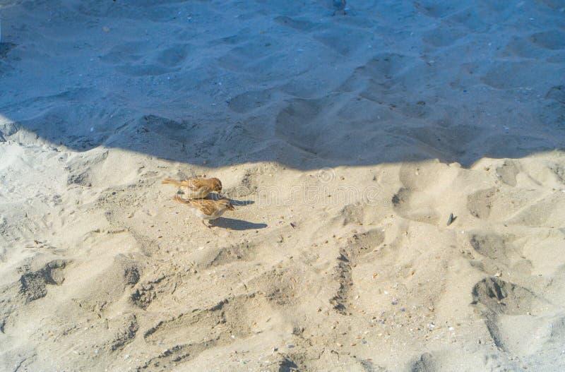 Wenig Spatzen suchen nach Nahrungsmittelsamen auf dem Strand ökologisch sauberer Strand die Grenze des Schattens und des Lichtes lizenzfreie stockfotos