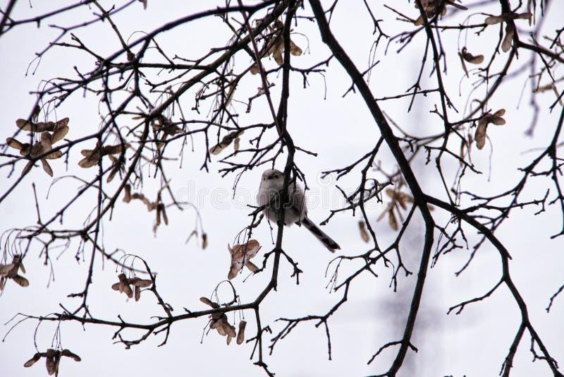 Wenig Spatzenvogel, der auf dem blattlosen Baum des Winters sitzt stockfotografie