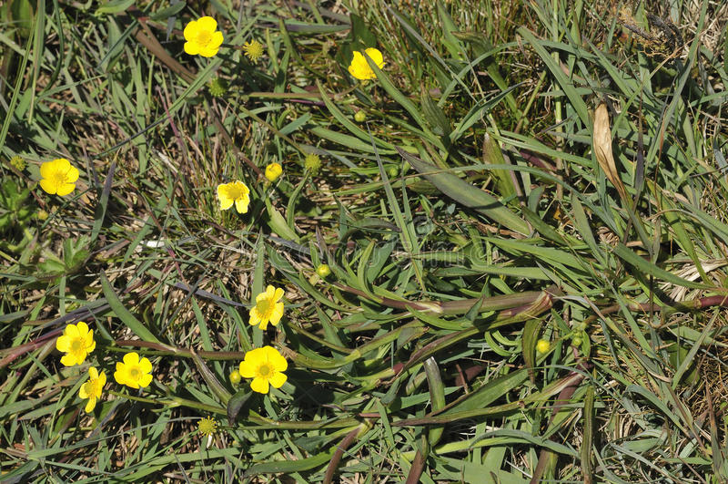 Wenig Spearwort - Ranunculus flammula lizenzfreie stockbilder