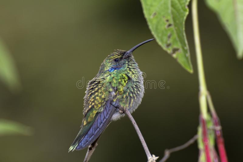 Wenig violetear, Colibri-cyanotus, früher grünes violetear stockfoto