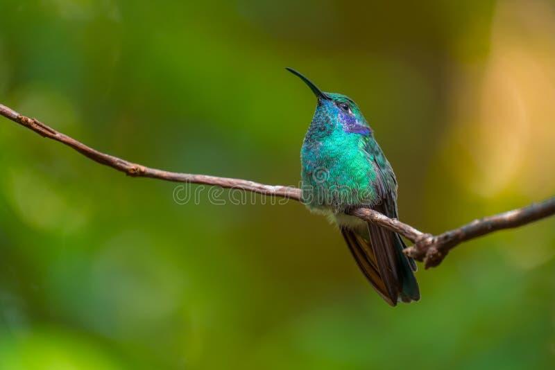 Wenig violetear Kolibri stockfotos