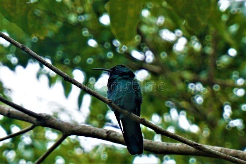 Wenig violetear Kolibri, der auf einer Niederlassung sitzt stockfotografie