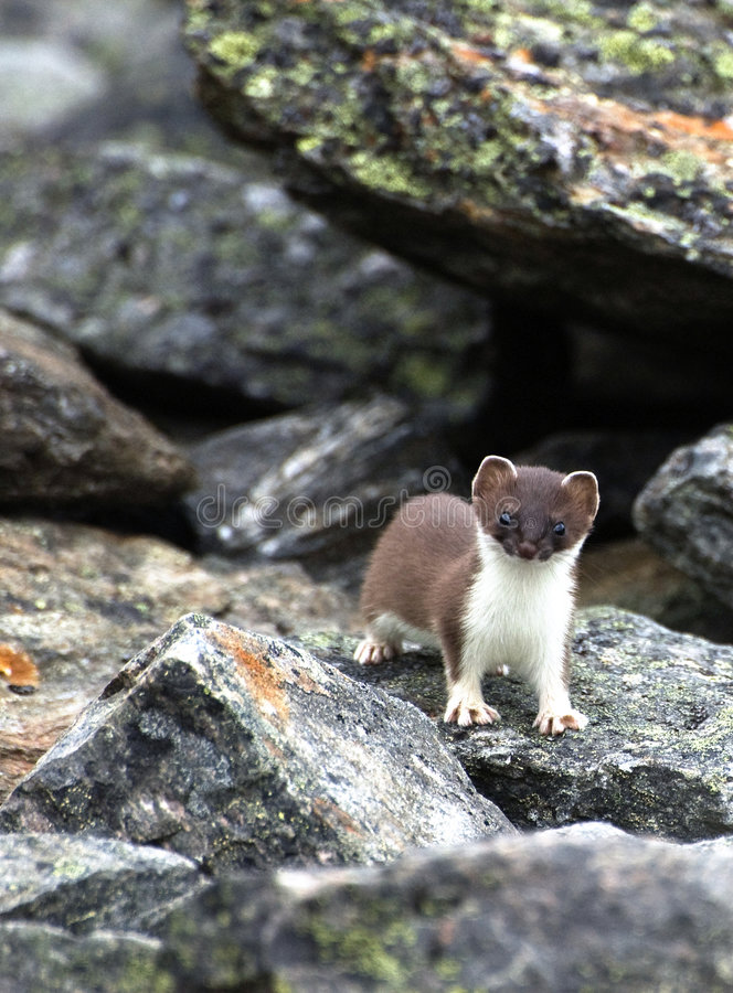 Wenig Weasel (Mustela nivalis) lizenzfreie stockbilder