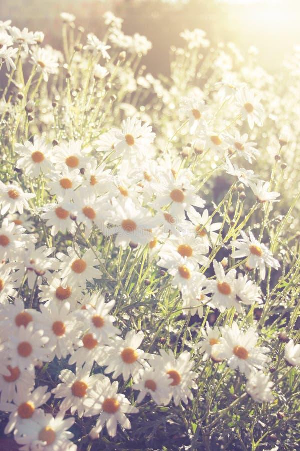 Wenig weiße Blume Weinleseton und Blendenfleckeffekt stockfoto