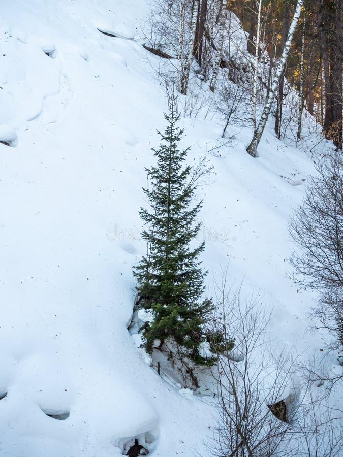 Wenig Weihnachtsbaum ist im Winter in einem Wald in Altai, Russland kalt stockfotos