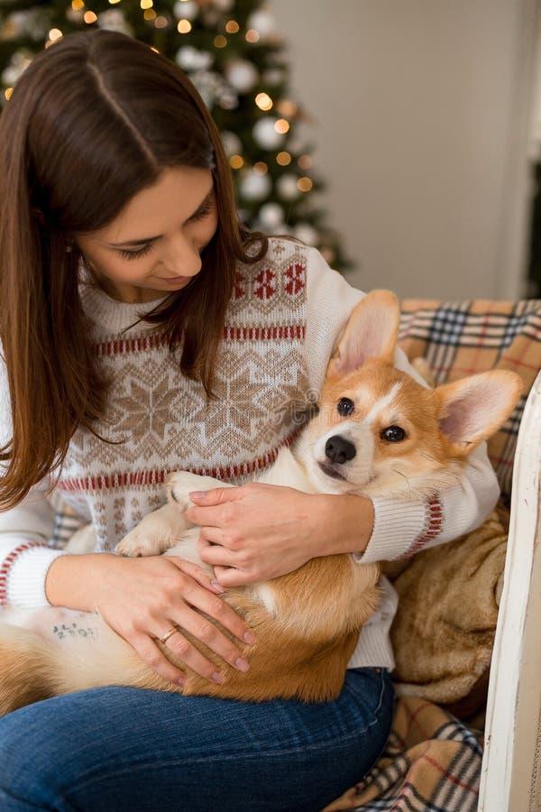 Wenig Welpe Waliser-Corgi-Wolljacke liegt auf der Couch auf dem Schoss eines Mädchens stockfotos