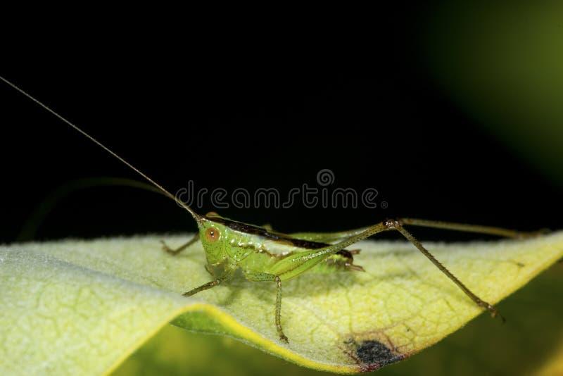Wenig Wiese katydid Nymphe auf einem Milkweedblatt in Connecticut lizenzfreies stockfoto