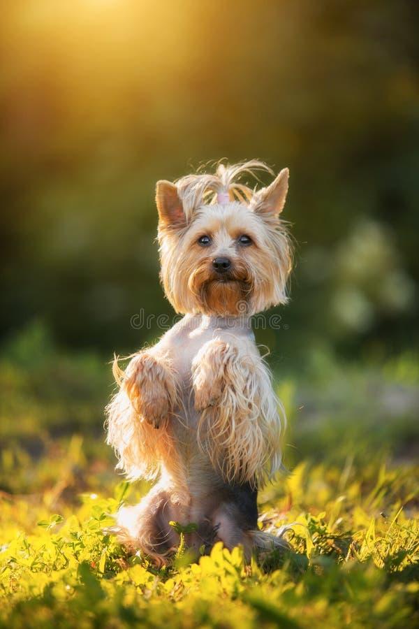 Wenig Yorkshire Terrier, das ein Gras im summerday aufwirft lizenzfreies stockbild