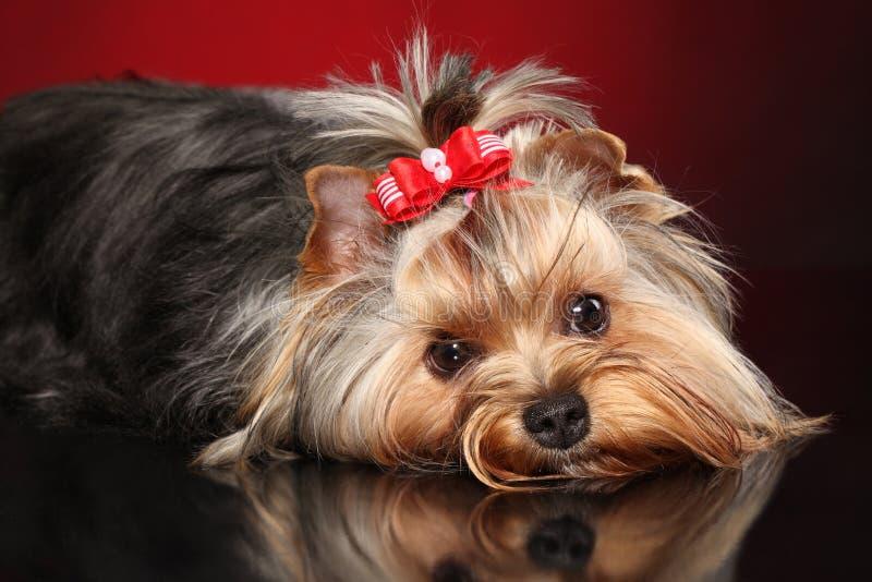 Wenig Yorkshire-Terrierhund lizenzfreie stockfotografie